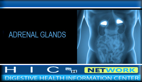 Post image for Adrenal Glands – Endocrine System